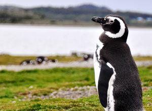 Argentinien Ushuaia Feuerland Nationalpark Pinguin
