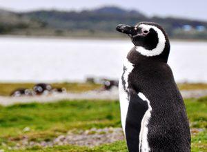 Argentinien Ushuaia Feuerland Nationalpark Pinguin 5