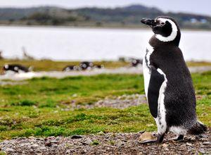 argentine ushuaia ile de la terre de feu parc national pingouin