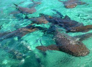 Belize-Caye-Caulker-Shark-Ray-Alley