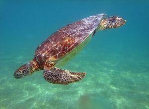 Mexiko-Akumal-Schildkröte