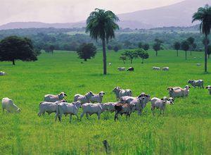 Guanacaste Kühe