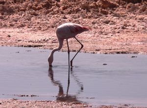 Chile Atacama Flamingo