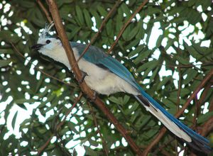 Nicaragua White throated Magpie jay