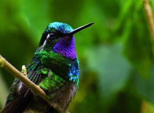 Costa Rica Colibri