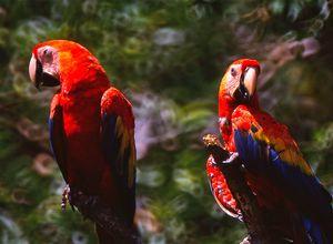 Costa Rica Corcovado Papagei