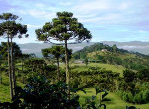 Brasilien Urubici Araukarien