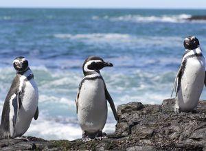 Argentinien Puerto Madryn Pinguine iStock 644145496