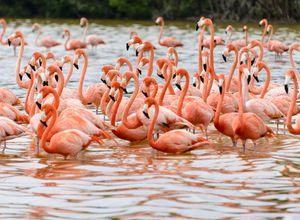 Mexiko Celestun Flamingos