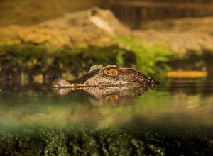 Brasilien Amazonas Alligator