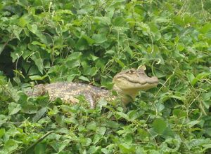 Nicaragua Naturreservat Kaiman