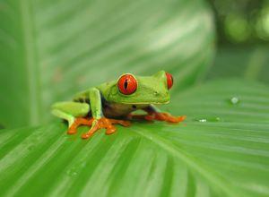 Costa Rica Rotaugenlaubfrosch - Rundreise