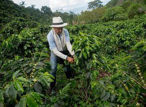 Kolumbien Kaffee Ernte iStock 538899346