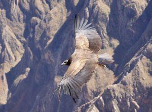 Peru Colca Canyon Kondor iStock 490966780