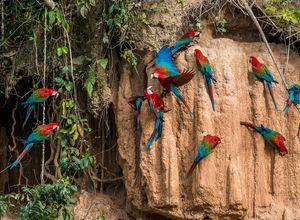 Peru Amazonas Papageienleckstelle iStock 534034923