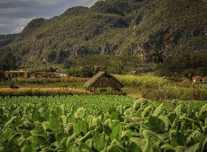 Kuba Vinales Tabak iStock 689935178