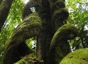 Costa_Rica_Boca_Tapada_Tree