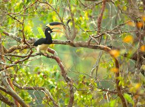 Indien Mudumalai Malabarhornvogel selten