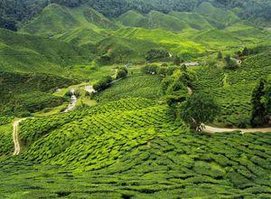 Indien Munnar Teeplantage gruen