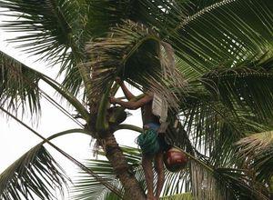 Sri Lanka Chilaw Toddy Tapping Palmwein Ernte Mann