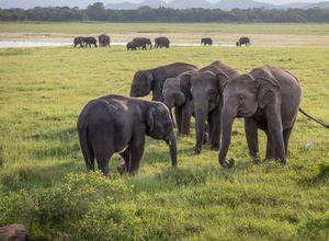 Sri Lanka Minneriya Kaudulla Nationalpark Safari Herde Elefanten