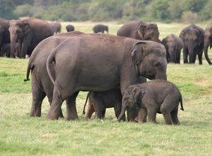 Sri Lanka Minneriya Kaudulla Safari Elefanten Tierbeobachtung