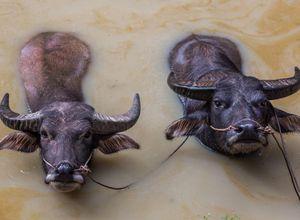 Myanmar Bullen Ochsen Wasserbueffel