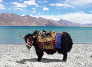 indien ladakh pangong lake yak
