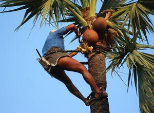 Sri Lanka Chilaw Toddy Tapping Einheimische Begegnungen