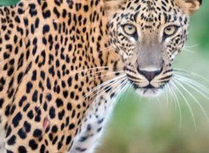 srilanka yala leopard