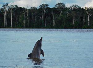 Kolumbien Amazonas Lago de Tarapoto Delfin