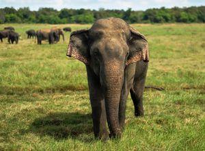 Sri Lanka Elefant Safari Reiseprofi