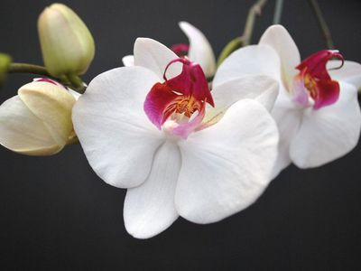 orquidea soroa