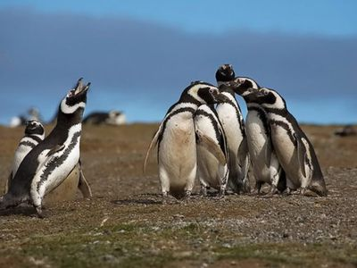 pinguins 1 4