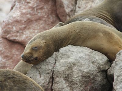 Islas Ballestas Robbe