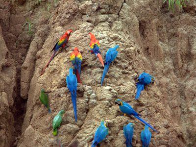 peru puerto maldonado papageien leckstelle