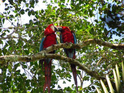 Bolivien Papageien