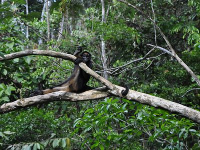 ecuador amazonas spider monkey