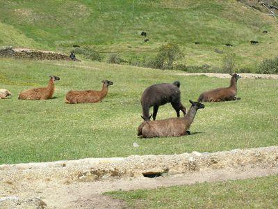 ecuador fauna ingapirca