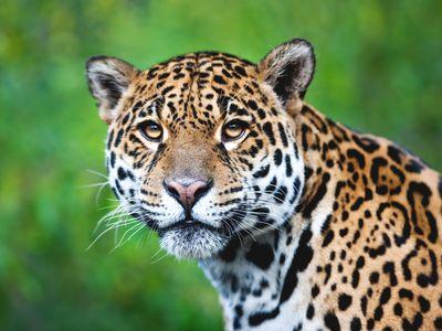 peru eco amazonia lodge leopard