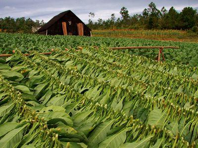 kuba vinales tabakplantage