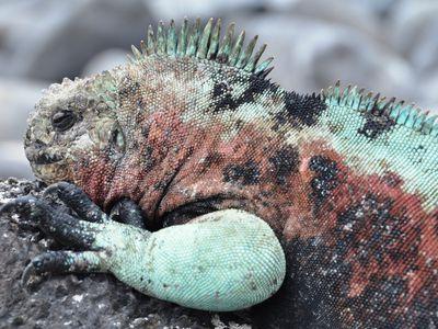 ecuador galapagos marine iguana