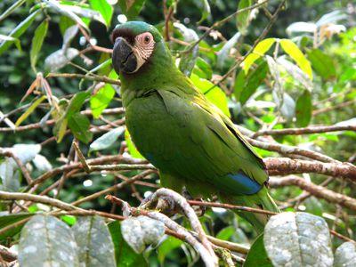 Grüner Ara im Amazonasgebiet, Ecuador