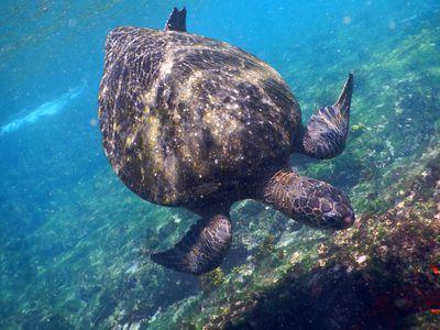 Meeresschildkröte bei den Galapagosinseln