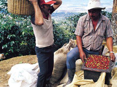 costa rica hohepunkte kaffeeplantage