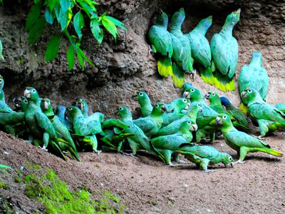 ecuador amazonas sittiche
