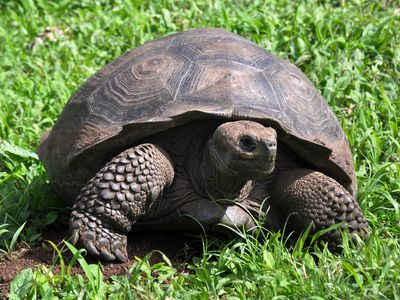 Riesenschildkröte auf den Galapagosinseln