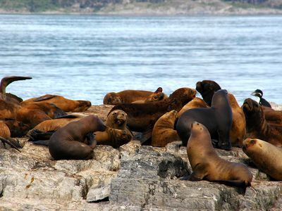 argentinien ushuaia isla lobos beagle kanal seeloewen