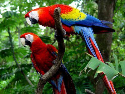 Costa Rica Allgemeines Tiere zwei Aras