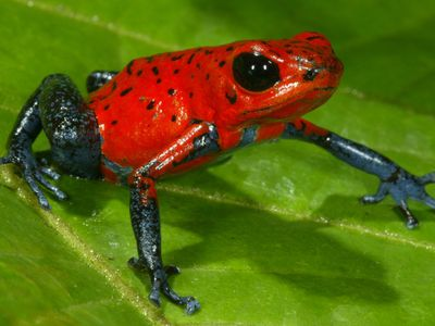 CostaRica Allgemeines Tiere Roter Frosch